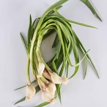 Garlic Shoot