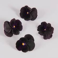 Blackberry Sorbet Viola