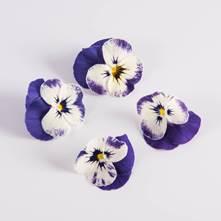 Blueberry Swirl Viola