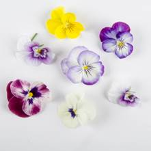 Mixed Viola Edible Flowers