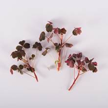 Flaming Lucky Sorrel Leaves with Bloom