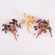 Mixed Lucky Sorrel Leaves