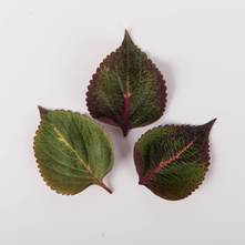 Flaming Shiso Leaves