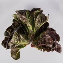 Mixed Red Romaine Lettuce