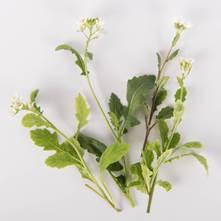 Arugasabi Blossoms