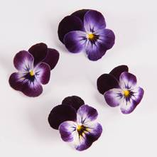 Blackberry Swirl Viola