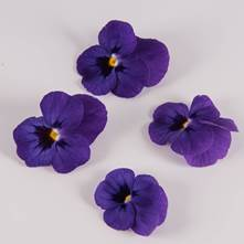 Blue Raspberry Sorbet Viola