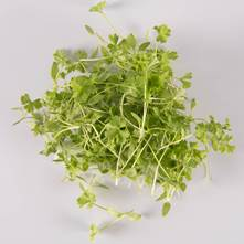 Traditional Parsley