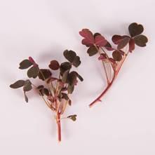 Plum Lucky Sorrel Leaves