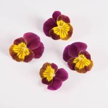 Rhubarb Lemon Viola