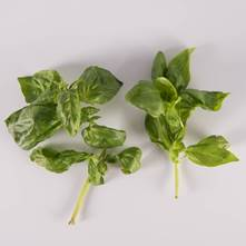 Traditional Basil