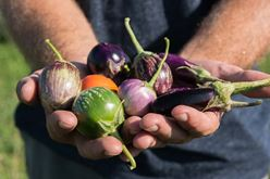 Fascinating History of Eggplant in the United States Image