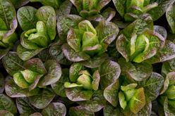 Mandarin Oriental Chefs Transplant Lettuce Image