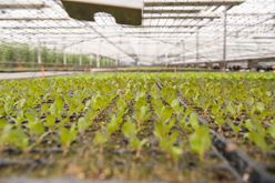Delectable Fresh Lettuce Flourishes in Cold Temperatures Image