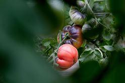A Tantalizing Tomato Tour Image