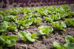 There's No Place Like Home in Jose Gomez's Fields of Farm-Fresh Lettuce Image