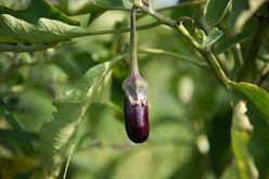 The Exceptional Eggplant Image
