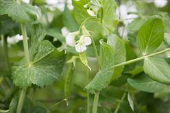 Plenty to Share About Farm-Fresh Peas Image
