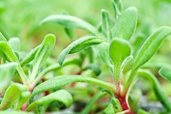 Ruby Crystal Lettuce: A Refreshing Gem Image