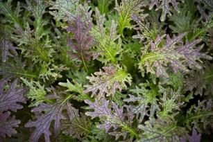 Brain Healthy Foods: Farm-Fresh Greens Thumbnail