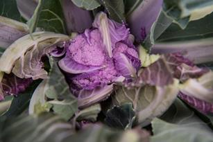 Mulberry Cauliflower: Dipped in Nostalgia and Lilac Thumbnail