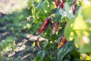 Speckled Peas: More beautiful than a bouquet of flowers! Thumbnail