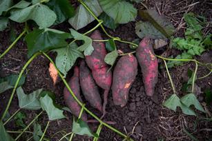 Traditional Sweet Potatoes Put the Yum in Ho-Hum: Thumbnail