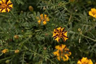 French Marigolds: Unabashedly Boisterous Thumbnail