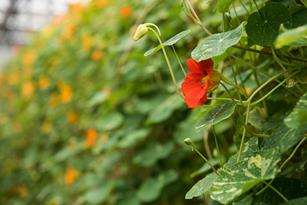 Nasturtium Blooms: A Thomas Jefferson Darling and Peruvian Medicine All In One  Thumbnail