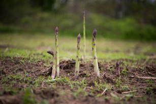 All About Fresh Asparagus Thumbnail