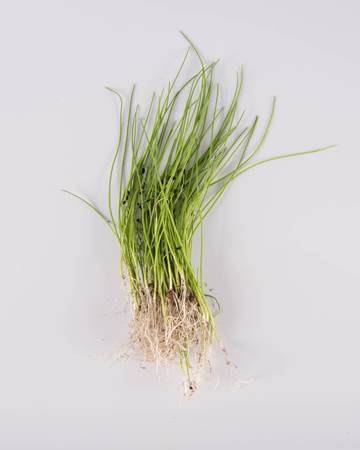 Micro Chives with Root