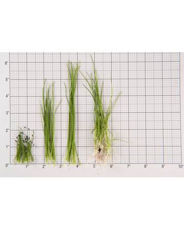 Chives Size Grid