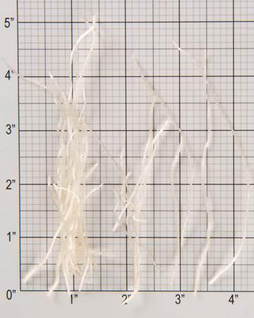 Allium-Garlic-Root-Size-Grid
