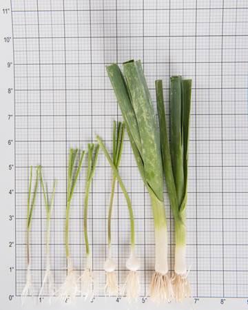 Allium-Leek-Traditioinal-Size Grid