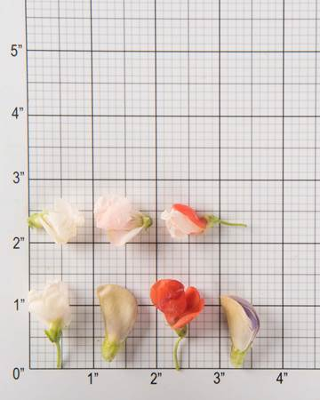 Beans-Runner-Blooms-Size-Grid