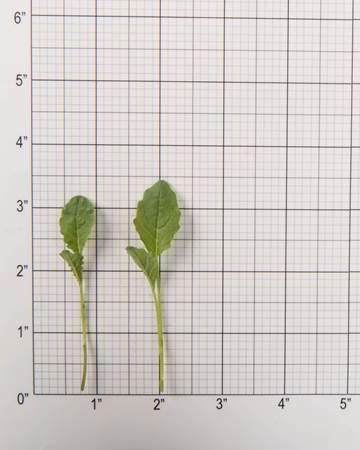 Kale-Lacinato-Size-Grid