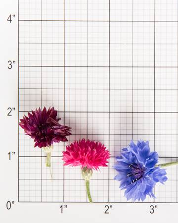 Edible Flower-Bachelor Buttons-Size Grid