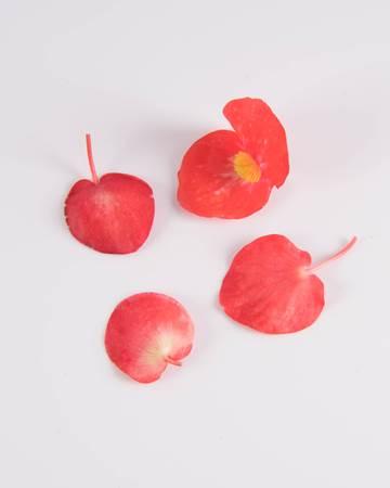 citrus begonia