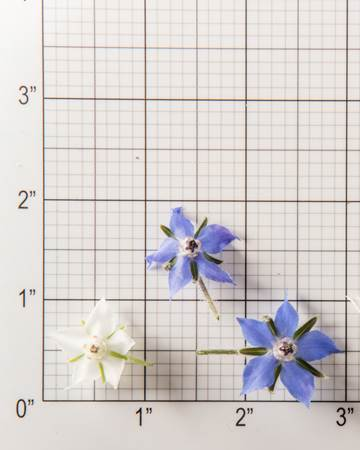 Edible Flower-Borage-Mixed-Size Grid