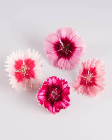 Edible Flower-Frilled Dianthus-Isolated