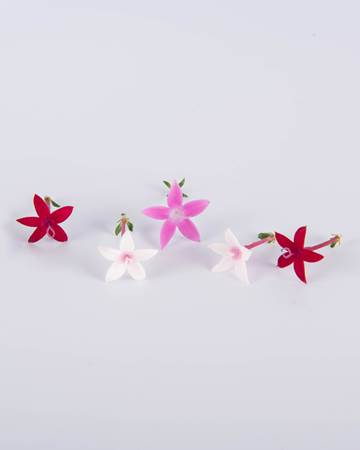 Mixed-egyptian-star-flower-isolated