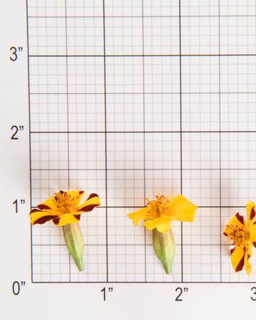 Edible Flower-French Marigold-Size Grid