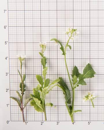 Edible-Flower-Arugasabi-Size-Grid