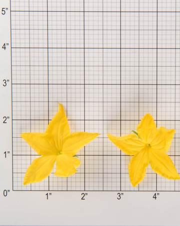 Cucumber-Cuke-Bloom-Size-Grid