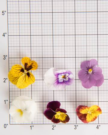 Edible-Flowers-Violas-Mix-Size Grid