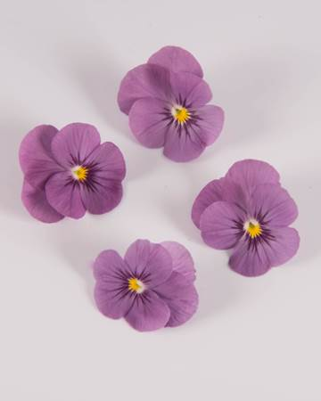 Edible-Flower-Viola-Plum Sorbet-Isolated