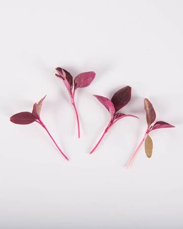 large-microgreen-burgundy-amaranth-isolated