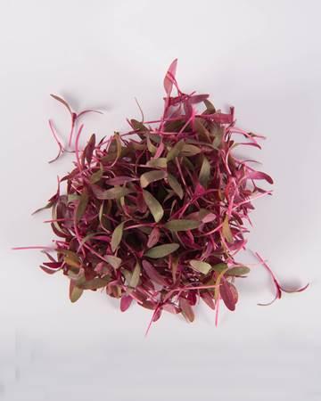 microgreen-burgundy-amaranth-isolated