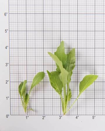 Greens-Arugula-Sylvetta-Size Grid