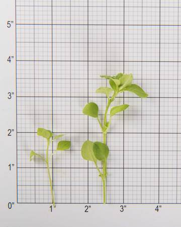 chickweed-size-grid